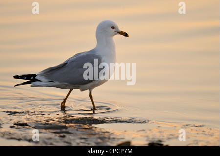 Ring bill gull (Larus delawarensis) Anastasia State Park, St. Augustine, Florida, USA - Stock Photo