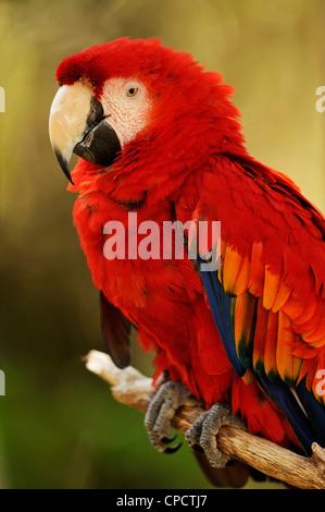 Scarlet Macaw (Ara macao), The Alligator Farm, St. Augustine, Florida, USA - Stock Photo