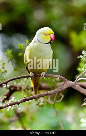 Rose-ringed Parakeet or Ring-necked Parakeet ( Psittacula krameri manillensis ) - Stock Photo