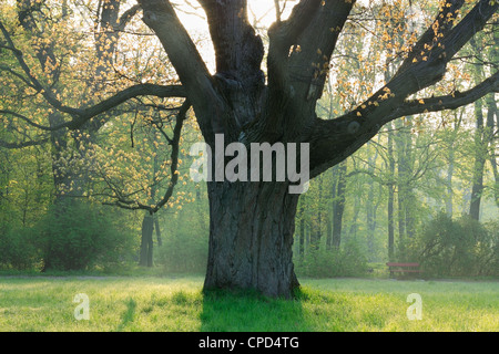 Old mighty oak and the first young leaves - Stock Photo