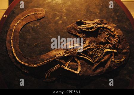Coelophysis skeleton. 210 million years. Late Triassic. Natural History Museum. London. United Kingdom. - Stock Photo