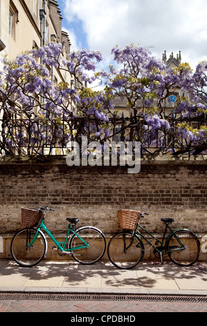 Cambridge bicycles; Two bicycles against the wall of Sidney Sussex college in spring with wisteria, Sidney St, Cambridge - Stock Photo