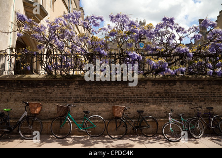 Bicycles against the wall of Sidney Sussex college in spring with wisteria, Sidney St, Cambridge UK - Stock Photo