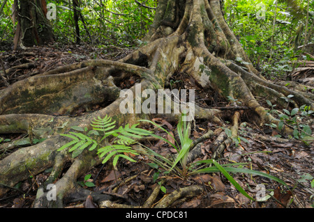 Long surface roots and a Mimosa sp plant, lowland rainforest, Tortuguero National Park, Costa Rica - Stock Photo