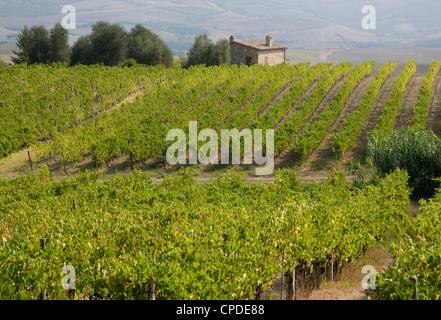 A vineyard in autumn near Montalcino, Tuscany, Italy, Europe