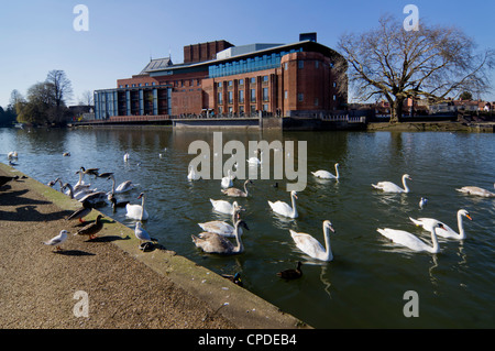 Theatre and swans on the River Avon, Stratford upon Avon, Warwickshire, England, United Kingdom, Europe - Stock Photo