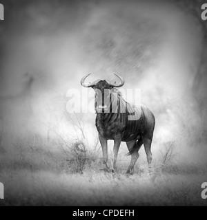Blue Wildebeest in Rainstorm (Artistic processing) - Stock Photo