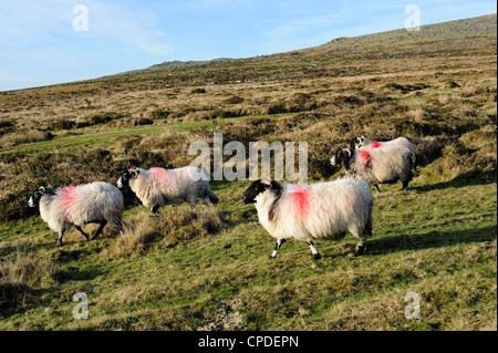 Dartmoor sheep at Merrivale, Dartmoor National Park, Devon, England, United Kingdom, Europe - Stock Photo