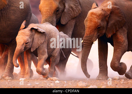 Elephant herd on the run in Etosha desert - Stock Photo