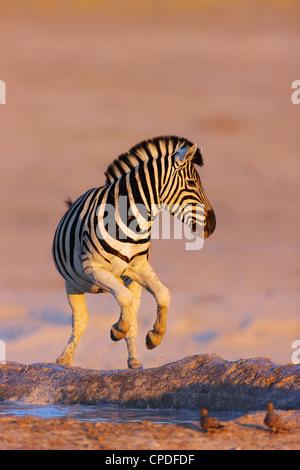 Zebra jumping out of waterhole; Etosha; Equus burchell's - Stock Photo