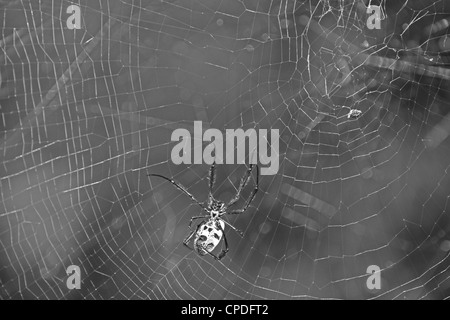 Black and white photograph of a Golden Orb-web Spider, Nephila fenestra and its web in Kirstenbosch National Botanical - Stock Photo