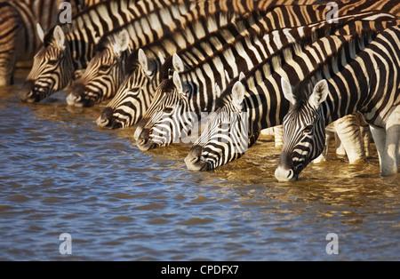 Herd of zebras drinking water in Etosha; Equus burchell's - Stock Photo