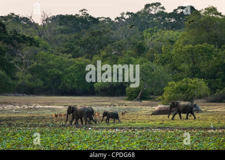 Elephants and spotted deer at twilight in Kumana National Park, formerly Yala East, Kumana, Eastern Province, Sri - Stock Photo