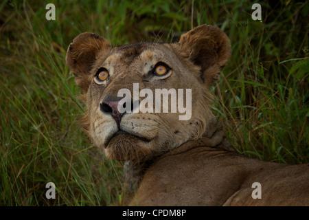 African Lion Panthera leo  in Mikumi Game reserve . Southern Tanzania. - Stock Photo