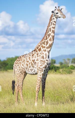 Giraffe Giraffa camelopardalis in Mikumi Game reserve . Southern Tanzania. Africa - Stock Photo