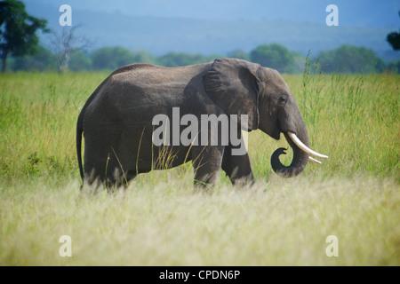 African elephant  Loxodonta africana Mikumi national park.Tanzania Africa. - Stock Photo