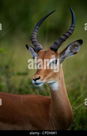 impala Aepyceros melampus Mikumi Game reserve . Southern Tanzania. Africa - Stock Photo