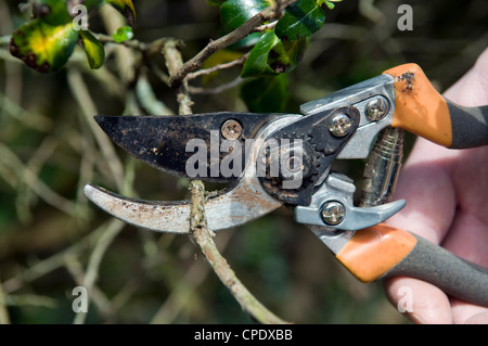 Close up of Caucasian mans hand chopping branches with pruners in garden in Bristol, UK - Stock Photo