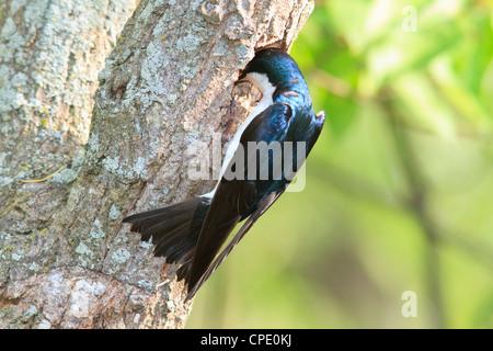 Male tree swallow (Tachycineta bicolor) examining a potential nesting location. - Stock Photo