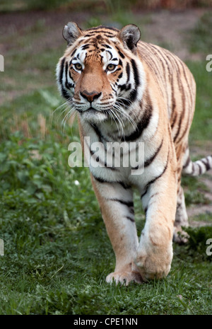 Male Amur (Siberian) tiger walking towards camera - Stock Photo