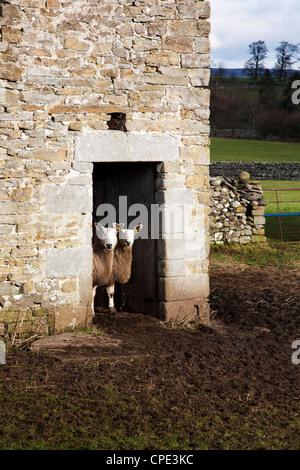 Two sheep in a field barn near Aysgarth, Yorkshire Dales, England, United Kingdom, Europe - Stock Photo