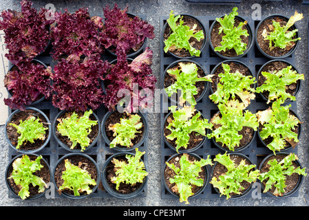 baby lettuce green and red plant sprouts in pots for planting - Stock Photo
