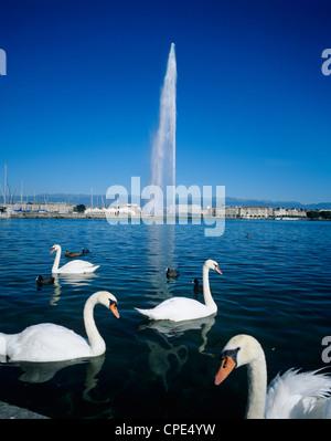 Swans below the Jet d'eau (water jet), Geneva, Lake Geneva (Lac Leman), Switzerland, Europe - Stock Photo