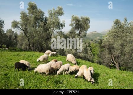 Sheep in olive grove, Patsos, Rethimnon (Rethymno) region, Crete, Greek Islands, Greece, Europe - Stock Photo