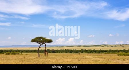Masai giraffes grazing in the Masai Mara National Reserve, Kenya, East Africa, Africa - Stock Photo