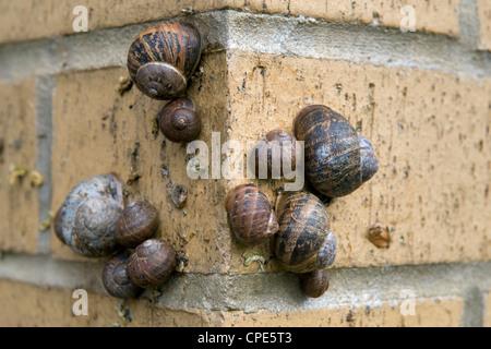Garden Snails (Helix aspersa) on brick wall in Bristol, uk - Stock Photo