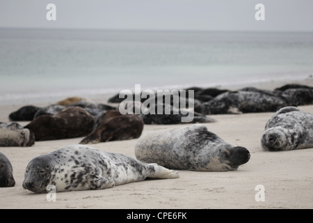 A group of grey seals Halichoerus grypus lying on the beach of Helgoland, North Sea - Stock Photo