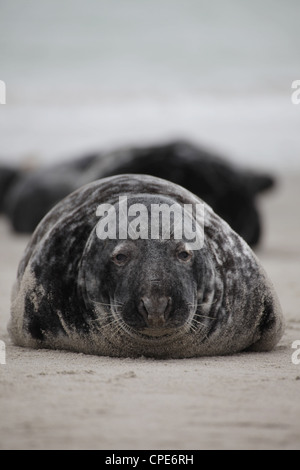 An adult male grey seal Halichoerus grypus lying on the beach of Helgoland, North Sea - Stock Photo