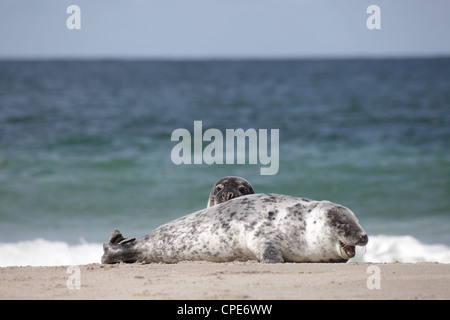 A pair of juvenile grey seals Halichoerus grypus lying on the beach of Helgoland, North Sea - Stock Photo