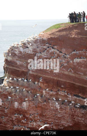 Wildlife photographers watching bird colonies on the cliff-tops of Helgoland, Germany, North Sea - Stock Photo