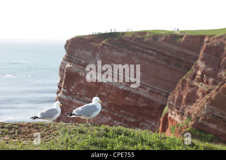 A pair of sea gulls on the cliff-tops with tourists watching birds on Helgoland, Germany, North Sea - Stock Photo