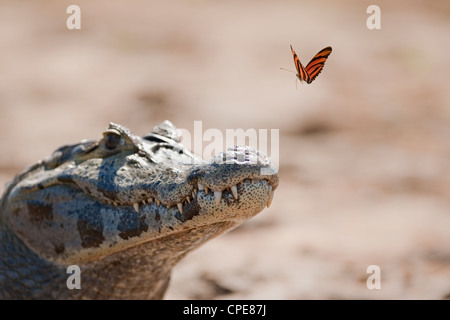 Yacare Caiman (other names - Paraguayan or Southern Spectacled Caiman) watching a flying Banded Orange Heliconian - Stock Photo