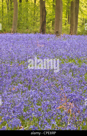 Bluebells beneath trees, West Woods, Wiltshire, England, United Kingdom, Europe - Stock Photo