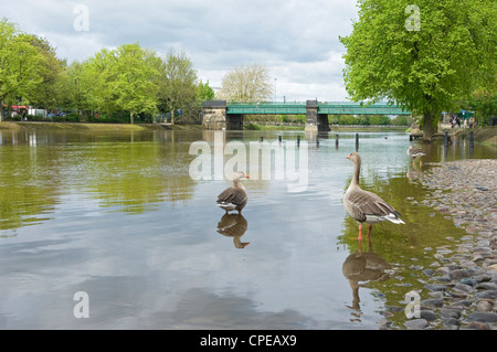 River Ouse in flood at Scarborough Bridge York North Yorkshire England UK United Kingdom GB Great Britain - Stock Photo