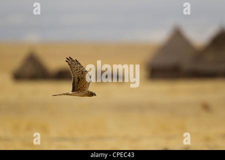 Montagu's Harrier Circus pygargus female in flight past local village near Dodola, Ethiopia in March. - Stock Photo