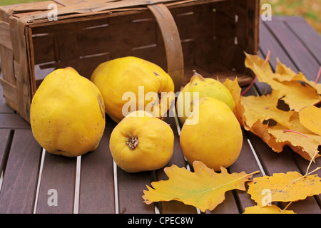 Basket of quinces and autumn leaves on garden table - Stock Photo
