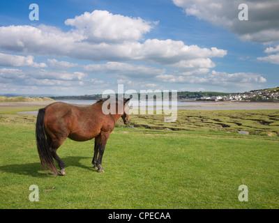 Pony looking towards Appledore from Northam Burrows Country Park, Devon, England, United Kingdom. - Stock Photo