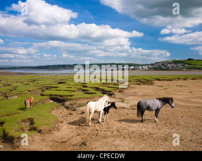 Ponies at Skern salt flats viewed by Northam Burrows Country Park with the Taw & Torrage Esuraries in the distance - Stock Photo