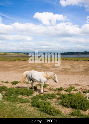 Pony at Skern salt flats viewed by Northam Burrows Country Park with the Taw & Torrage Esuraries in the distance, - Stock Photo