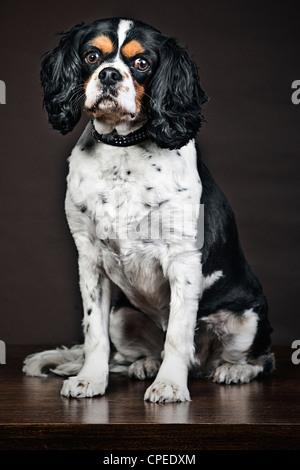 Cavalier King Charles Spaniel Portrait - Stock Photo