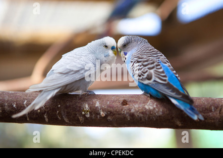 Two Budgies interacting on a tree branch at Butterfly World, Klapmuts, South Africa - Stock Photo
