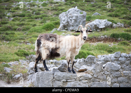 goat at Gorge of River Cares in Asturias Spain - Stock Photo