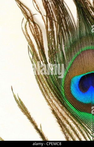 peacock feathers on white background - Stock Photo