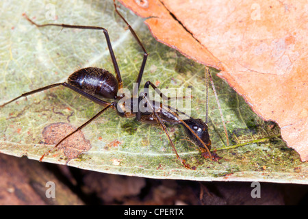 L:arge ant on the rainforest floor in Ecuador - Stock Photo