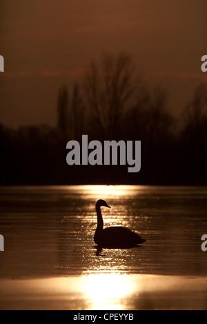 Swan on a frozen lake at sunset. Kraaijenbergse plassen, the Netherlands. - Stock Photo