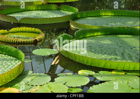 Giant water lily pads (Victoria amazonica  / Victoria regia) from South America in National Botanic Garden of Belgium at Meise